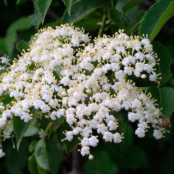 Plant Profile: Elder